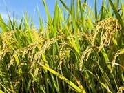 Vietnam, Cuba cooperate in rice production
