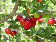 Japanese firm to help improve acerola breeding in Vietnam