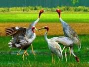 Red-headed cranes return to grass field in Kien Giang