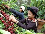 Coffee exports to hit 3billion USD in 2012