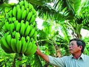 Laba banana to regain its fame