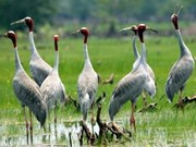 Red-headed cranes return to Kien Giang