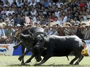 Buffalo fighting festival in Phu Tho