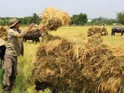 Mekong Delta strives to raise rice competitiveness