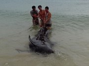 One-tonne whale rescued in Quang Binh