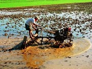 Mekong Delta pins hope on bumper rice crop