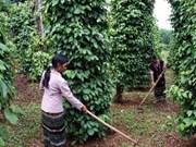 Phu Quoc Island promotes black pepper