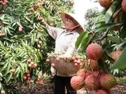 Lychee export to China expected to double