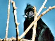 Project protects endangered langurs in Tuyen Quang