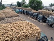 Bright prospects seen in Vietnam's cassava export