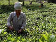 Tea brands need quality boost to expand export