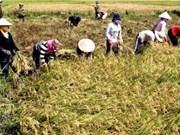 Mekong Delta farmers grow rice in green model