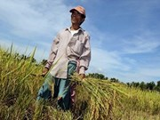 Philippines may turn to Thailand for rice