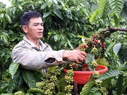 Central Highlands targets at least 1.2 million tonnes of coffee