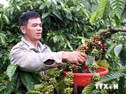 Geographical indication benefits Dak Lak coffee producers