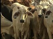 Australian cattle export to Vietnam up 9,000 pct