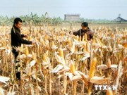 Mekong Delta farmers encouraged to grow GM maize