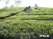 Tea exports plunge on quality issues