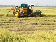 Mekong Delta produces 20.6 mln tonnes of rice