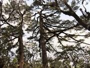 Rare flora species recognised as Vietnam Heritage Trees
