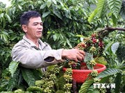 Dong Nai coffee growers enjoy higher output, prices