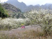 Moc Chau blanketed in white blossoms