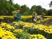 Flower villages busy harvesting for Tet
