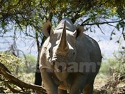 Eliminating rhino horn use popularised
