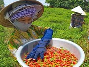 Quang Ngai: Chilli price reaches record high