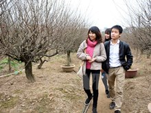 Nhat Tan village takes care of peach trees for Tet
