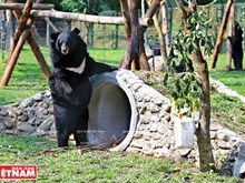 New home for rescued capitive bears in Vinh Phuc
