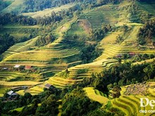 Terraced rice fields in Hoang Su Phi in ripe season