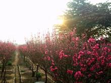 Irregular weather worries peach blossoms growers