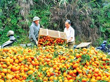 Orange trees yield unexpected results for ethnic groups in Yen Bai
