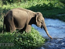 Dak Lak province moves to conserve elephants