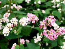 Buckwheat flowers bring a sparkle to Hanoi
