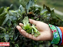 Ta Xua Shan Tuyet Tea