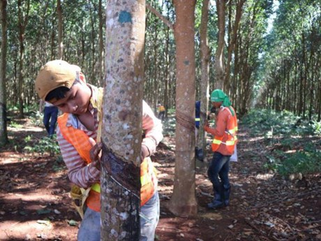 Cambodia exports over 100,500 tonnes of rubber in 7 months
